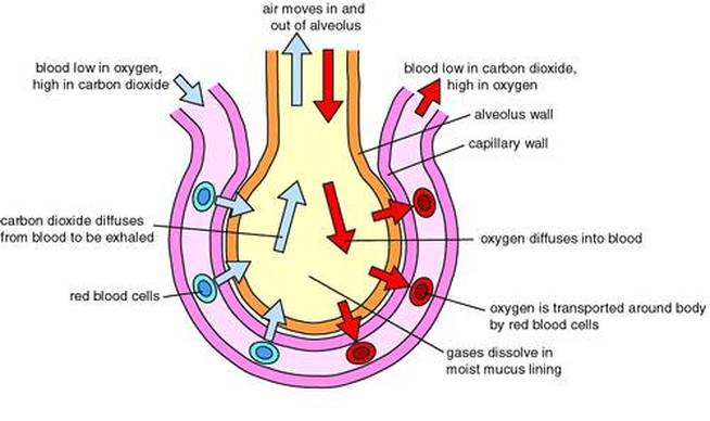 Diagrams respiratory system ccuart Choice Image